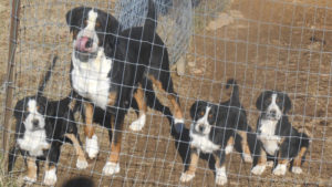 Great Swiss Mountain dog and puppies