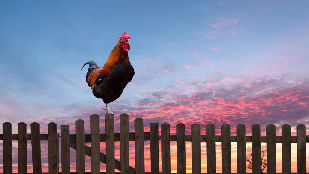Rooster crowing on a wooden fence at sunrise